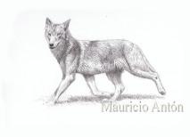 lobo trota watermark